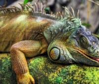 Donde Viven Las Iguanas?