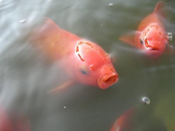 Donde vive el pez dorado que comen como nacen - Donde viven los acaros ...
