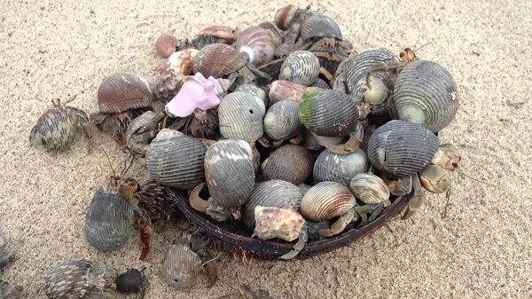 Donde viven los cangrejos ermita os que comen como nacen - Donde viven los acaros ...