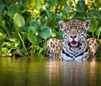 Donde Vive El Jaguar?