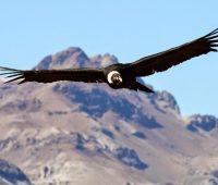 Donde Vive El Condor?