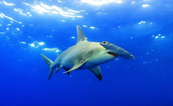 Donde Vive El Tiburon Martillo?
