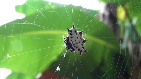Donde Viven Las Arañas?