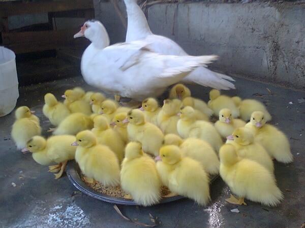 Donde Viven Los Patos?