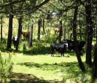 Donde Viven Las Vacas?