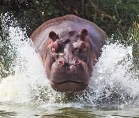 Donde Viven Los Hipopótamos?