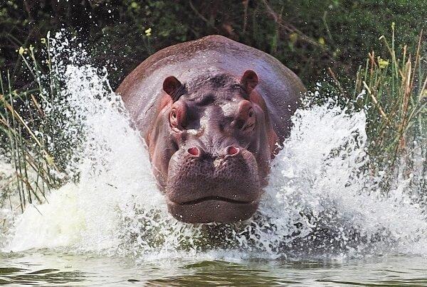 Donde Viven Los Hipopótamos
