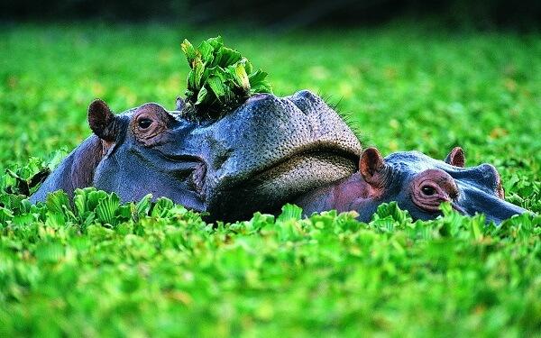 Donde Viven Los Hipopótamos2