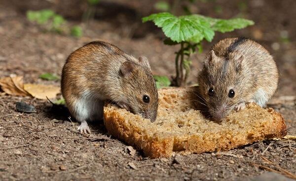 Donde Viven Las Ratas