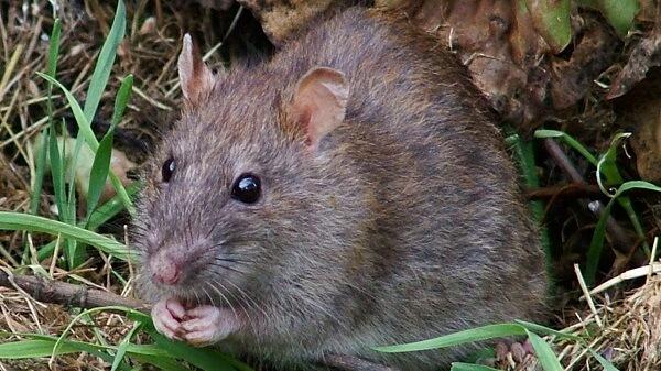 Donde Viven Las Ratas2