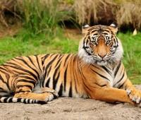 Donde Viven los Tigres?