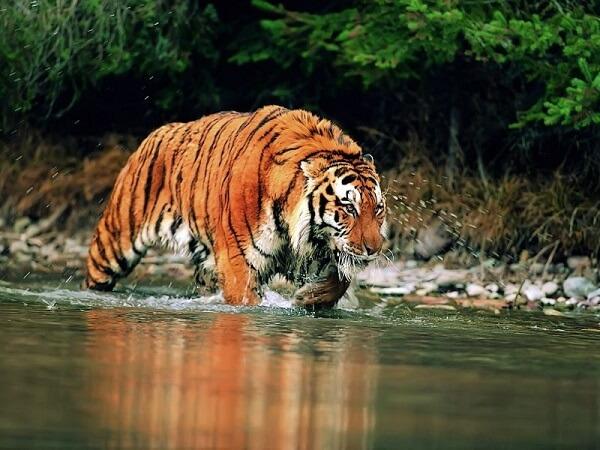 Donde Viven los Tigres2