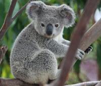 Donde Viven Los Koalas?