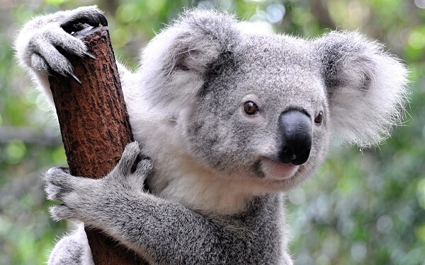 Donde Viven Los Koalas2
