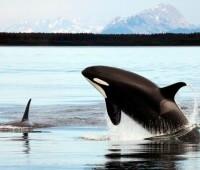 Donde Viven Las Orcas?