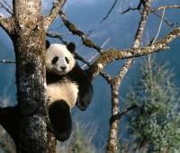 Donde Viven Los Osos Panda?