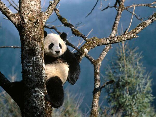Donde Viven Los Osos Panda
