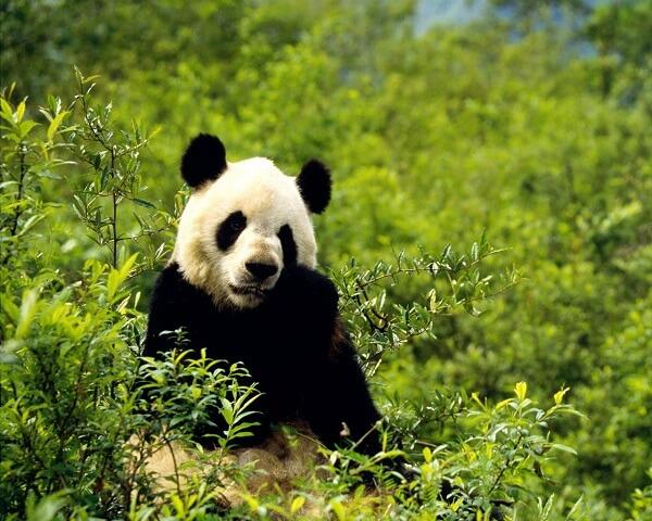 Donde Viven Los Osos Panda2