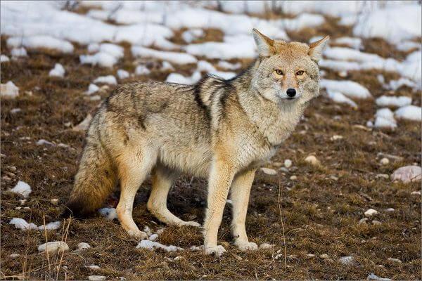 Donde Vive el Coyote