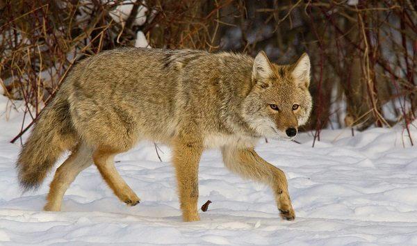 Donde Vive El Coyote2