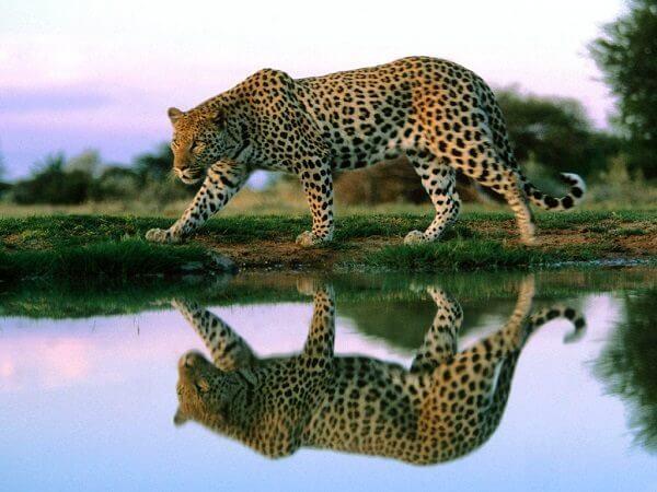Donde Viven Los Leopardos