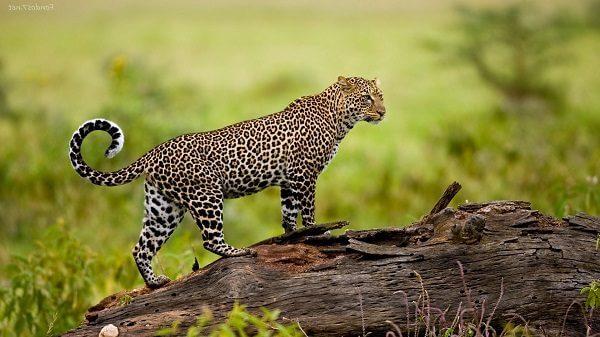 Donde Viven Los Leopardos2