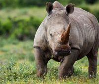 Donde Viven Los Rinocerontes?