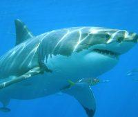 Donde Vive El Tiburon Blanco?