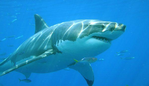 Donde Vive El Tiburon Blanco