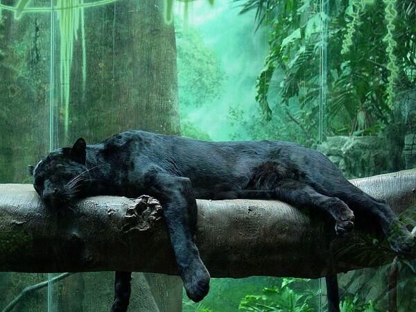 Underwater Big Black Cats