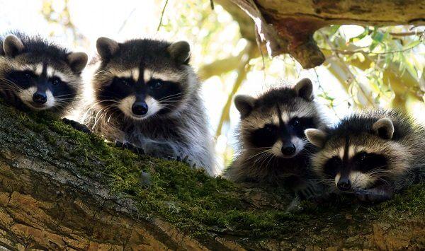 donde-viven-los-mapaches2
