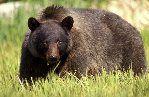donde vive el oso negro