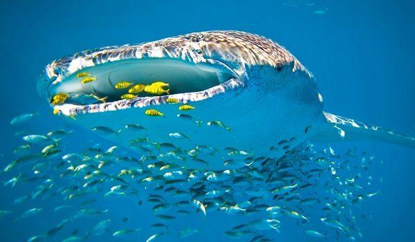 Donde Vive El Tiburon Ballena