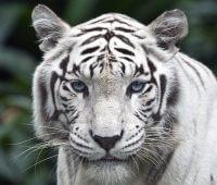 Donde Vive El Tigre Blanco?