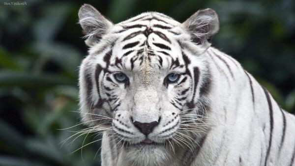 Donde vive el tigre blanco que comen como nacen for De donde sacan el marmol