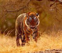Donde Vive El Tigre De Bengala?