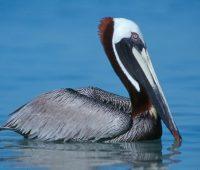 Donde Viven Los Pelicanos?