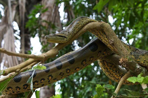 donde viven las anacondas que comen como nacen