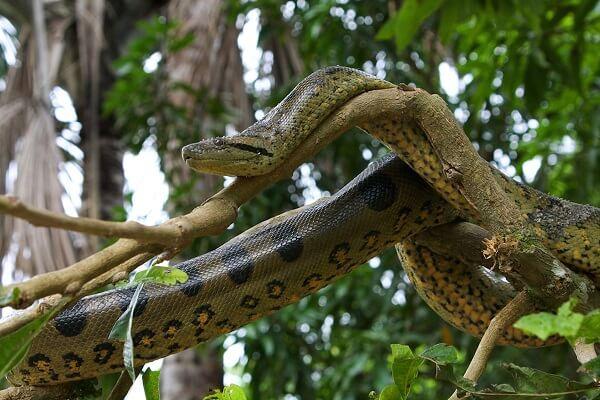 Donde viven las anacondas que comen como nacen for Medio en el que habitan los arboles