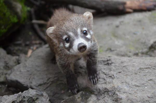 Donde vive el coati que comen como nacen - Donde viven los acaros ...