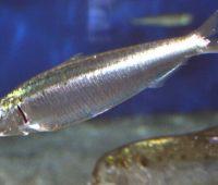 Donde viven las sardinas?