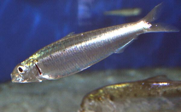 habitat-de-las-sardinas