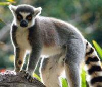 Donde viven los Lemures?